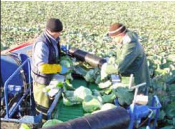 капустоуборочный комбайн - подающие на тол валики для капусты на переработки. Ародирект